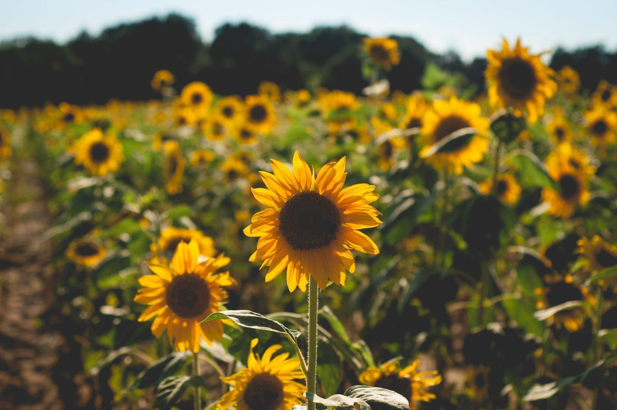 Holland Farm Sunflower Field